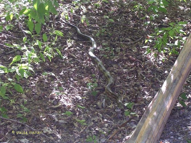 The fauna of the villages of bear creek park Garden snakes in texas